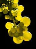 Raisins de cuve ambres Images libres de droits