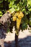 Raisins de cuve blanc dans la vigne images stock