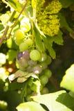 Raisins de cuve blanc pendant d'une vigne Photo libre de droits