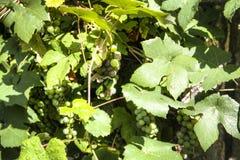 Raisins de cuve blanc pendant d'une vigne Photographie stock