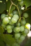 Raisins de cuve blanc pendant d'une vigne Images libres de droits