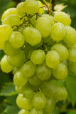 Raisins de cuve blanc sains de fruits riping dans le vignoble, vin GR Images stock