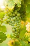 Raisins de cuve blanc sur le vignoble Photo stock