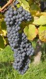 Raisins de cuve bleu-foncé mûrs Photo libre de droits