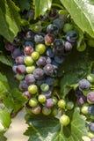 Raisins de cuve colorés sur la vigne Photo libre de droits