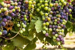 Raisins de cuve colorés sur la vigne Photographie stock libre de droits