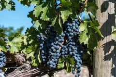 Raisins de cuve d'Okanagan photographie stock