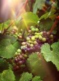 Raisins de cuve dans des rayons de soleil de vignoble Photos libres de droits