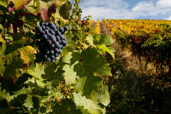 Raisins de cuve gauche sur la vigne photographie stock