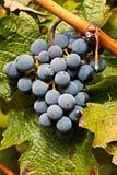 Raisins de cuve gauche sur la vigne photos stock