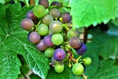 Raisins de cuve rouges et verts Photos libres de droits