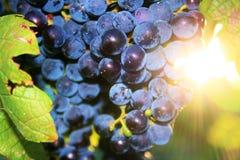 Raisins de cuve savoureux avant moisson Images stock