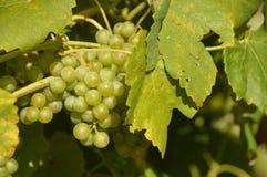 Raisins de cuve savoureux avant moisson Photographie stock libre de droits