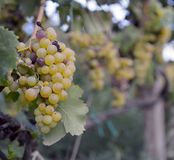 Raisins de Muscat Image stock