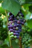 Raisins de pinot noir Image stock