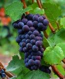 Raisins de pinot noir Photographie stock libre de droits