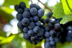 Raisins de pinot noir Photographie stock