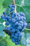 Raisins de pinot noir sur la vigne Photographie stock