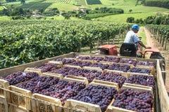 Raisins de récolte Images stock