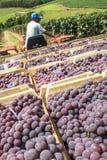 Raisins de récolte Photo libre de droits