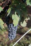 Raisins de Salento, Italie, Pouilles Image stock