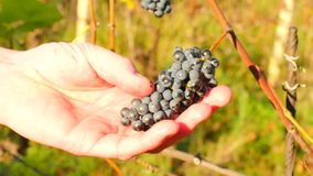 Raisins de vigne de contrôle de cultivateur de vin après le premier gel dans le vignoble Saison d'automne de vigne faisant avant  clips vidéos