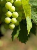 Raisins de vigne en France Photographie stock libre de droits