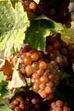 Raisins de vigne prêts à être pris Photographie stock