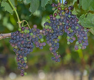 Raisins de vin rouge Photos stock