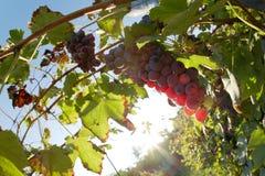 Raisins de vin rouge image stock