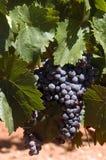 Raisins de vin rouge Photographie stock libre de droits