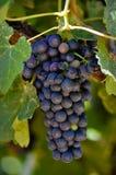 Raisins de vin rouge sur la vigne image stock