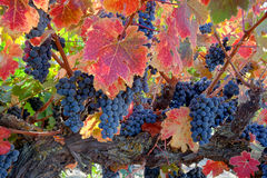 Raisins de vin rouge sur la vigne Photo stock