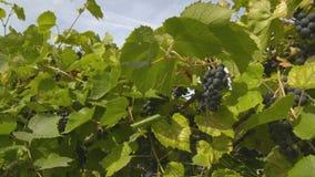 Raisins de vin rouge sur la vigne banque de vidéos