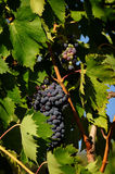 Raisins du vin rouge dans un Wineyards en Toscane, chianti, Italie images stock