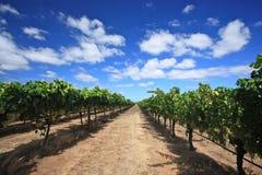Raisins en cour de vin Image libre de droits