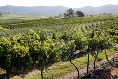 Raisins en cour de vin Photo libre de droits