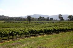 Raisins en cour de vin Photos stock