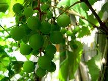 Raisins en cour de vin Photo stock