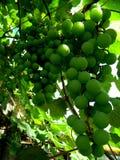 Raisins en cour de vin Images stock