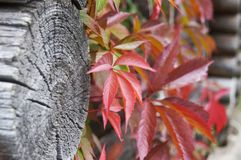 Raisins et arbre sauvages photo stock