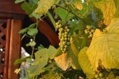 Raisins et coucher du soleil Image stock
