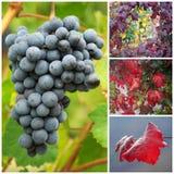 Raisins et feuilles de vigne en automne Photographie stock