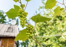 Raisins et feuilles verts sur la vigne au-dessus du toit de maison Image libre de droits