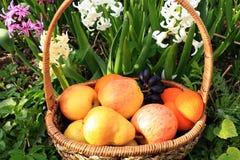 Raisins et pommes noirs juteux dans un panier dans le jardin entouré par des fleurs de ressort avec le plan rapproché de baisses photographie stock libre de droits