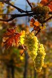 Raisins et vignes en automne Image libre de droits
