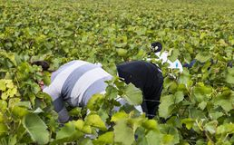 Raisins femelles Champagne de cueillette dans Verzy Photo stock