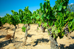 Raisins foncés pour le vin sur des cannes Photos stock