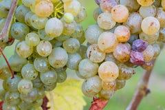 Raisins frais dans le vignoble Images stock