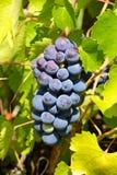 Raisins frais dans le wineyard Photographie stock libre de droits
